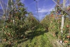 Produzione intensiva o frutteto della frutta con le reti di difesa delle colture nel Tirolo del sud, Italia Meleto di varietà immagini stock