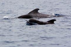 Proef walvis Royalty-vrije Stock Foto's