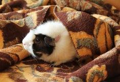 Proefkonijn in de deken Stock Foto's