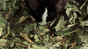 Proefkonijn die voedsel zoeken