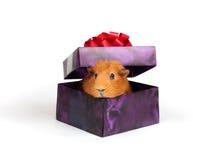 Proefkonijn in doos Royalty-vrije Stock Foto