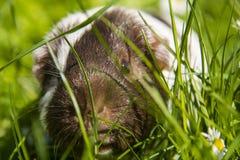 Proefkonijn in gras het eten Royalty-vrije Stock Afbeeldingen
