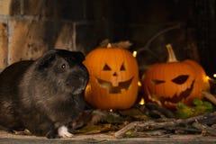 Proefkonijn in Halloween met Pompoen stock afbeeldingen