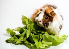 Proefkonijn op groene salade Stock Foto