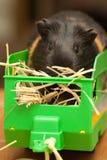 Proefkonijn op hooi in aanhangwagen stock afbeelding