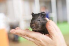 Proefkonijn weinig zwart in zijn handen stock afbeelding