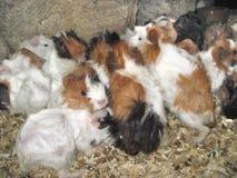 Proefkonijnen Royalty-vrije Stock Foto's