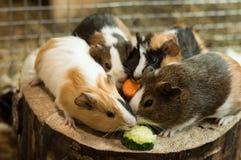 Proefkonijnen die stukken van komkommer eten een wortel Stock Foto