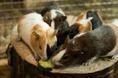 Proefkonijnen die voedsel nemen een stuk van komkommer Royalty-vrije Stock Foto's