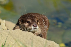 Proental small clawed otter Royalty Free Stock Photos