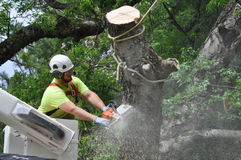 Professional Arborist Working in Crown of Large Tree. Close up of a professional arborist using chain saw to remove large limb while operating in an aerial work royalty free stock images