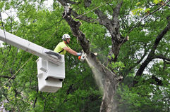 Professional Arborist Working in Crown of Large Tree. A professional Arborist using chain saw to remove large limb while operating in an aerial work platform, or stock photo