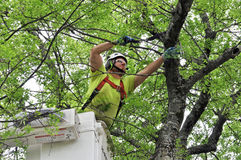 Professional Arborist Working in Crown of Large Tree. A professional Arborist using hand saw to remove small limbs and branches Stock Image