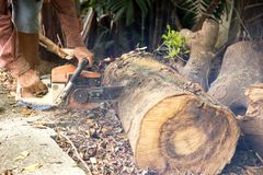 Professional chainsaw blade cutting log of wood. In forest Royalty Free Stock Photo
