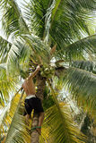 Professional climber on coconut treegathering Royalty Free Stock Photo