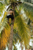 Professional climber on coconut treegathering Stock Image