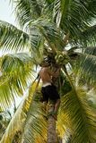 Professional climber on coconut treegathering Royalty Free Stock Photos