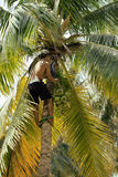 Professional climber on coconut treegathering coconuts with rope Royalty Free Stock Image