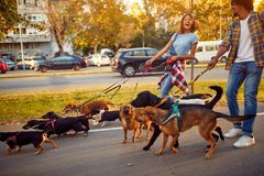 Professional couple dog walker with dogs enjoying in walk. Outdoors stock image