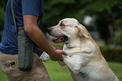 Training Labrador retriever pet in park. Professional dog trainer training Labrador retriever pet in garden, teach to stand and cuddle to get a water. The Stock Photos