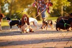 Professional Dog Walker - Basset Hound enjoying in walk. Outdoors royalty free stock photography