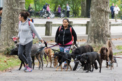 Professional dog walkers in Central Park Stock Image