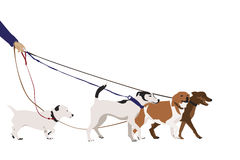 Professional dog walking Stock Images