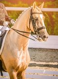 Elegant rider woman and sorrel horse. Beautiful girl at advanced dressage test on equestrian competition. Professional female horse rider, equine theme. Saddle Royalty Free Stock Photo