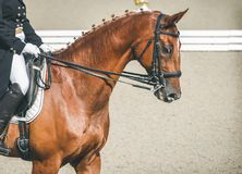 Elegant rider woman and sorrel horse. Beautiful girl at advanced dressage test on equestrian competition. Professional female horse rider, equine theme. Saddle Stock Images
