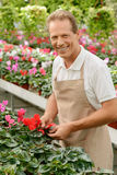 Professional florist working in the greenhouse Stock Photography