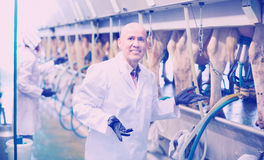 Professional friendly smiling milkers operating machine milking Royalty Free Stock Images