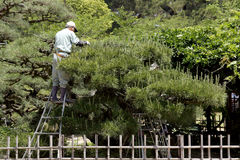 Professional gardener pruning a tree. KAGAWA, JAPAN - MAY 20 : Japanese professional gardener pruning a pine tree with shears, standing on a stepladder on May 20 stock photos