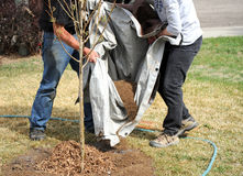 Professional gardeners. Professional gardeners planting a new tree outside royalty free stock image