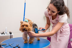 Professional groomer holding comb and grooming cute small dog in pet salon Royalty Free Stock Image
