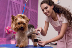 Professional groomer holding comb and scissors while grooming dog in pet salon. Young professional groomer holding comb and scissors while grooming dog in pet royalty free stock photo