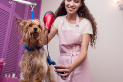 Professional groomer holding hair dryer and comb while drying wet yorkshire terrier dog Royalty Free Stock Photography