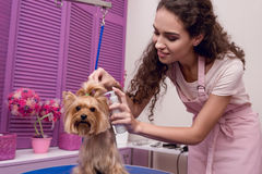 Professional groomer holding lotion and grooming cute small dog in pet salon Royalty Free Stock Photo