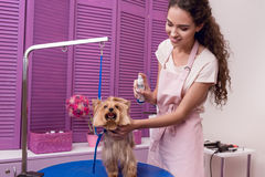 Professional groomer holding lotion and moisturising cute small dog in pet salon. Smiling professional groomer holding lotion and moisturising cute small dog in Stock Photo