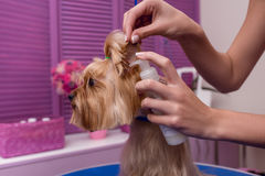 Professional groomer holding lotion while moisturising cute yorkshire terrier dog. Cropped shot of professional groomer holding lotion while moisturising cute Stock Photo
