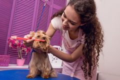 Professional groomer holding toothbrush and brushing teeth of small dog in pet salon. Smiling professional groomer holding toothbrush and brushing teeth of small stock photos