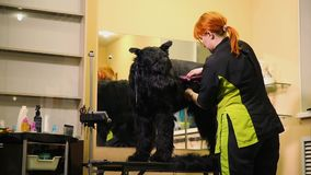 A professional groomer in my shop cuts a large black Terrier with clippers hair. Professional skill stock footage