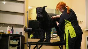A professional groomer in my shop cuts a large black Terrier with clippers hair. Skill stock footage