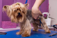 Professional groomer with scissors cutting fur of cute yorkshire terrier dog. Cropped shot of professional groomer with scissors cutting fur of cute yorkshire stock image