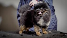 Funny small dog with tongue waiting new hairstyle. Professional groomer shearing dark fluffy pet with scissors in studio stock video footage