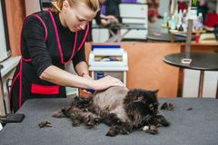 Professional hairdresser cuts a cat. Selective focus on the cat`s face. Haircut at the barber`s cat. Selective focus on the cat`s face royalty free stock image