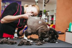 Professional hairdresser cuts a cat. Selective focus on the cat`s face. Haircut at the barber`s cat. Selective focus on the cat`s face stock image