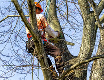 Professional High in Tree Removing Limbs Stock Photography