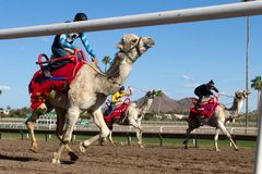 Camel Racing in Phoenix, Arizona, USA Royalty Free Stock Images