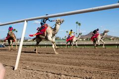 Camel Racing in Phoenix, Arizona Stock Image