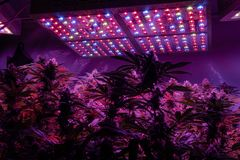 Professional light for growing. Best LED Grow Lights for Cannabis stock image